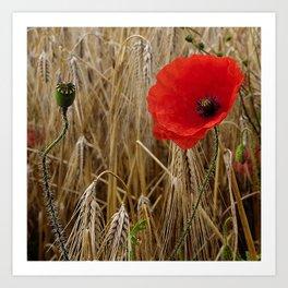 Cornfield Poppy Art Print