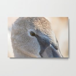 Juvenile brown swan portrait close up, Mute swan (Cygnus olor) Metal Print