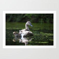 Mute Swan Cygnet Art Print