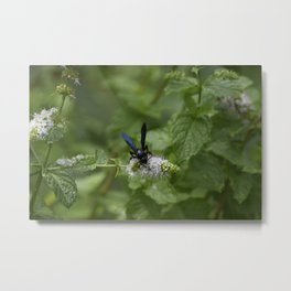 Scolia dubia a.k.a The Blue Winged Wasp Metal Print
