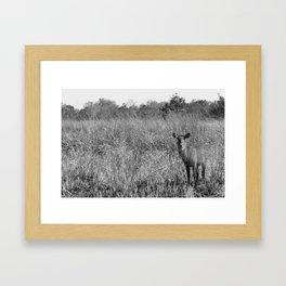 Waterbuck in Benin Framed Art Print