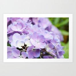 Light Purple Hydrangea Art Print