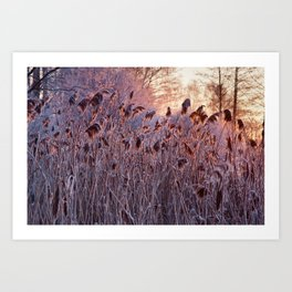 Reed in the gold morning light Art Print