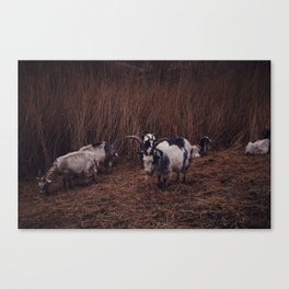 Goats in the wild, Groningen, Netherlands Canvas Print