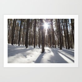 Yellowstone National Park - Lodgepole Forest 2 Art Print