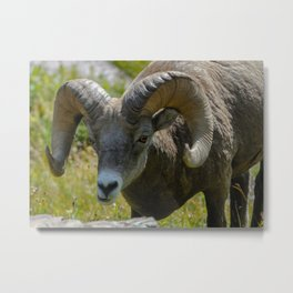 Bighorn Sheep Close-up Metal Print
