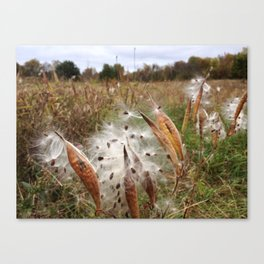 FALL MILKWEED (Whiting Road Nature Preserve, Webster, NY) Canvas Print