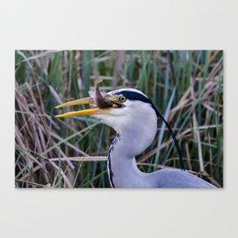 Grey Heron with fish Canvas Print