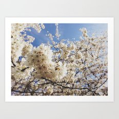 Cherry Blossoms Art Print