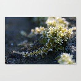Frosty Moss Canvas Print
