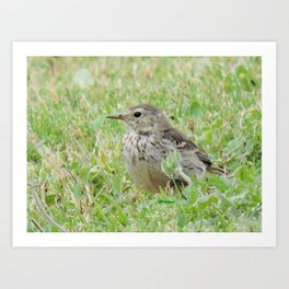 Pipit on the Lawn Art Print