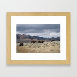 Bison in Yellowstone National Park Framed Art Print