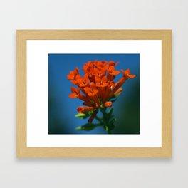 Scarlet Bouvardia Framed Art Print