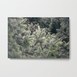 Detail of a Noble Fir tree (Abies Procera). Norfolk, UK. Metal Print