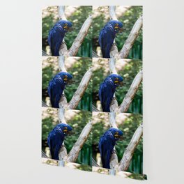Blue Macaw Wallpaper