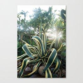 Agave americana 'Variegata' Canvas Print