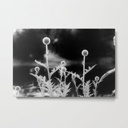 Globe thistle in black and white Metal Print