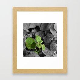 Oregano, Color on B/W 2 Framed Art Print