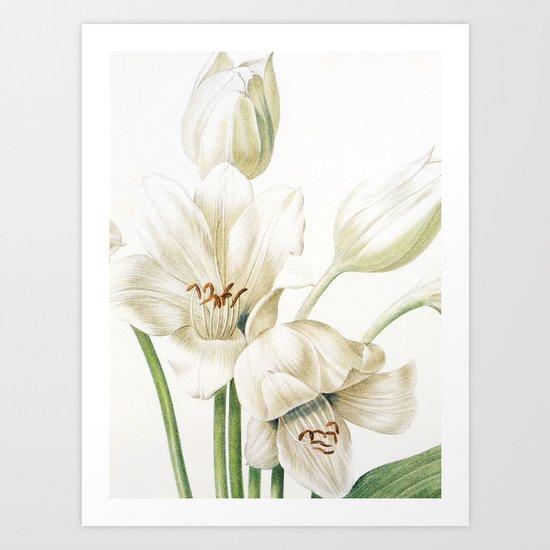 VI. Vintage Flowers Botanical Print by Pierre-Joseph Redouté - Crinum Jagus Art Print