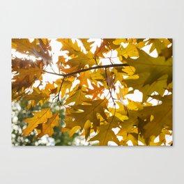 Golden oak leaves Canvas Print
