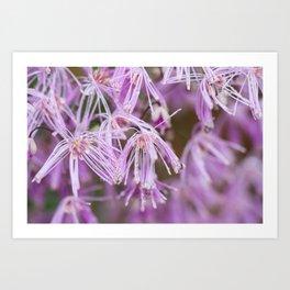 Lavender Mist Meadow Rue - Thalictrum rochebrunianum 3 Art Print