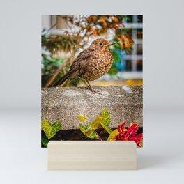 Juvenile Blackbird Resting Mini Art Print