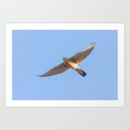 Common Kestrel (Falco tinnunculus). Common Kestrel in flight Art Print