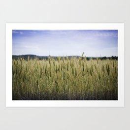 Grain Almost Ready For Harvest Art Print
