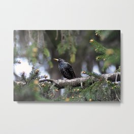 European starling Metal Print