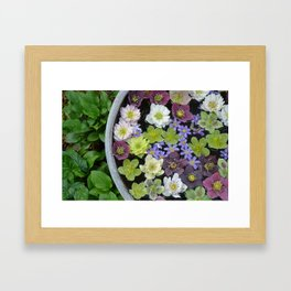 Colorful hellebore flowers Framed Art Print