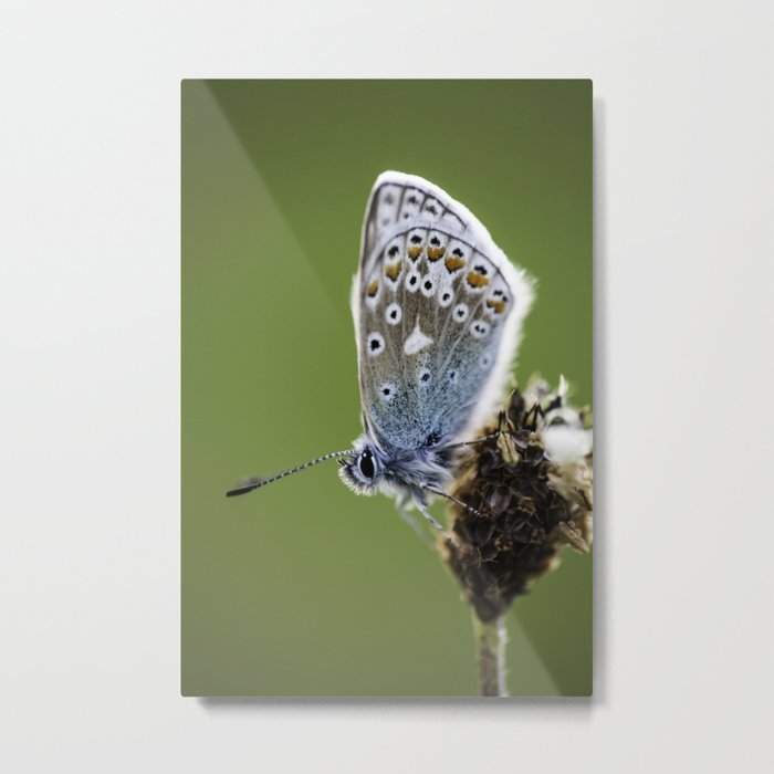 Common Blue Butterfly 2 Metal Print