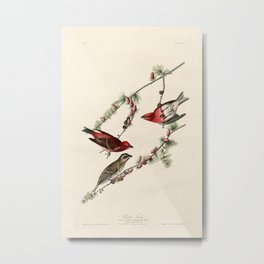 Purple Finch, Birds of America by John James Audubon Metal Print