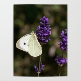 Relaxing butterfly on lavender Poster