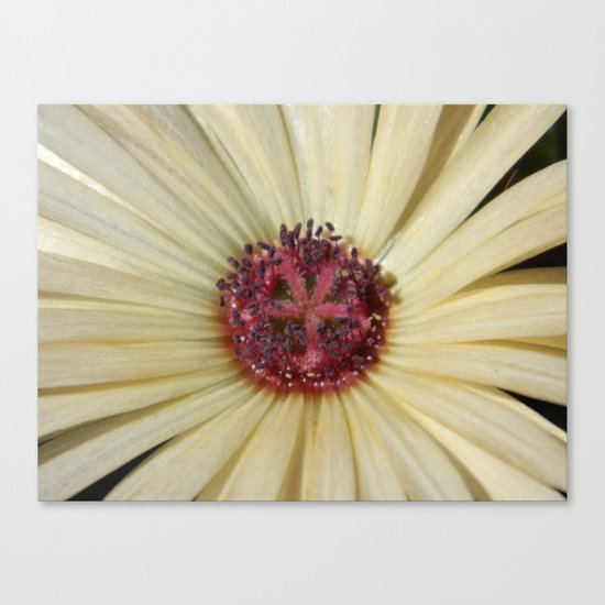livingstone daisy Canvas Print
