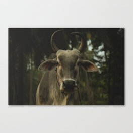 Thai Cow Canvas Print