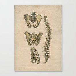 Human Spine Pelvis Anatomy 1841 Print Canvas Print
