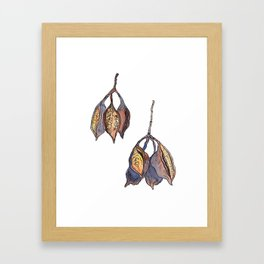 Kurrajong seed pods Framed Art Print