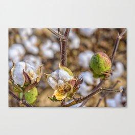 Cotton Boll Canvas Print