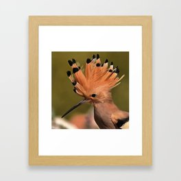 Beautiful Hoopoe Bird With Crown Of Feathers Framed Art Print