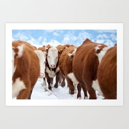 Cows: Hereford Traffic  Art Print