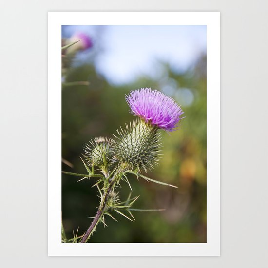 Bull Thistle in Mt. Rogers, Virginia Art Print