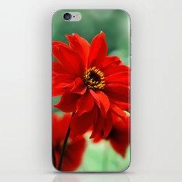 Dahlia red 082 iPhone Skin