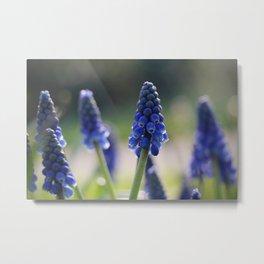 Blue spring - hyacinths in Manchester, England Metal Print