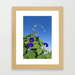 Morning Glory Framed Art Print