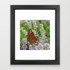 A Peacock Butterfly On A Laveder Bush Framed Art Print