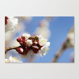Bee Visiting an Apricot Blossom 4 Canvas Print