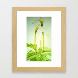 Arum Lily Framed Art Print