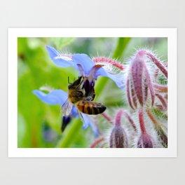 Honey Bee on Borage Art Print