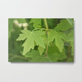 Amber Orientalis Leaves Metal Print