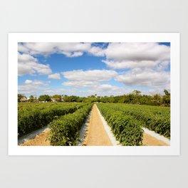 Tomato Fields  Art Print